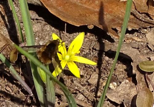 Sárga tyúktaréj- pöszörléggyel